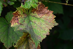 Anthracnose of grapes, fungus disease. A close-up of a grape vine leaf with yellow and brown patches infected by grape vine fungal disease downy mildew that needs chemical control and treatment.