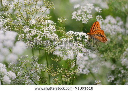 Anthriscus sylvestris, known as Cow Parsley, Wild Chervil, Wild Beaked Parsley, Keck, or Queen Anne's lace or Mother-die with Silver washed Fritillary (Argynnis paphia) butterfly