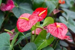 Anthurium andreanum Bright Red (Miami Beauty)