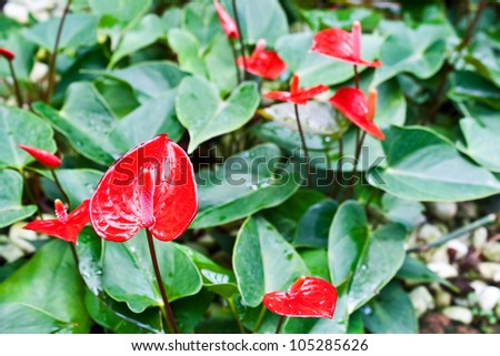 anthurium flower in the garden : red-hot