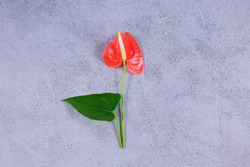 Anthurium flower with leave is a heart-shaped flower on grey background. Flamingo flower or Boy flower Pigtail Anthurium.