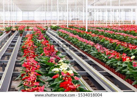 Anthurium flowering plant cultivation in a industrial greenhouse.
