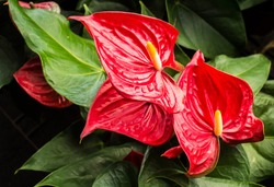 Anthurium is a red heart-shaped flower. Dark green leaves as a background make the flowers stand out beautifully. Anthuriums have come to symbolize hospitality.