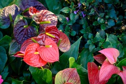 Anthurium or flamingo flowers are blooming in garden. Anthurium is a red heart-shaped flower.