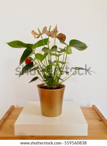Anthurium plants in a golden pot with flowers coloured in gold on white background. Urban jungle illustration. #559560838
