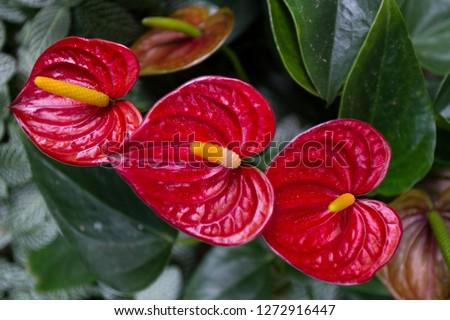 anthurium red Flamingo flowers or Boy flowers  Pigtail Anthurium ( Scientific name; Spathiphyllum cannifolium)