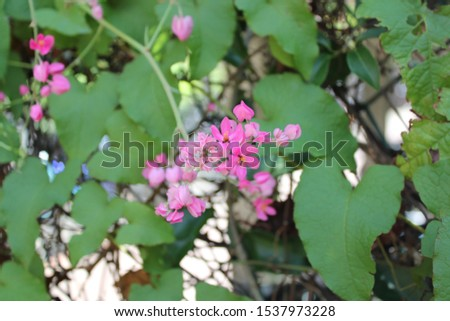 Antigonon leptopus,prostrate or twining woody vine with small leathery leaves and umbels of red flowers; Australia and Tasmania