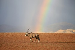 Antilope Wild africa natur oryx