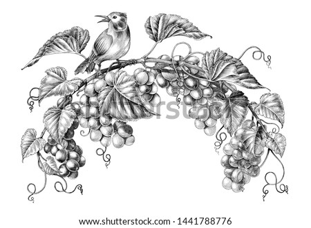 Antique engraving illustration of grapes twig with little bird black and white clip art isolated on white background