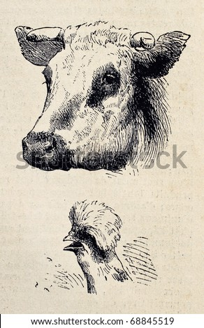 Antique illustrations of cow and rooster heads. Original, from drawing of Blanchard and Lambert, was published on L'Illustration, Journal Universel, Paris, 1860 - stock photo