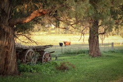 Antique wooden wagon on rural country road with cows in background