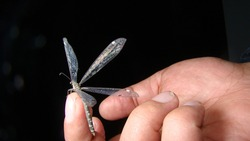 Antlion - Ant lion. antlion adult on the hand Stages of the antlion. close up of insect insects, insect, bugs, bug. Amazing Camouflage Animals. insect on the finger at night
