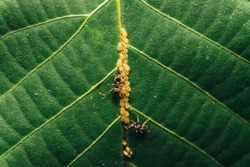 Ants and aphids feeding on a leaf macro