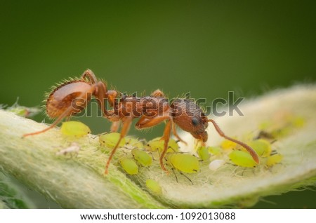 ants and aphids, symbiosis