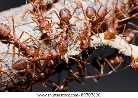 Ants and victim worm in macro mode