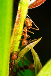 Ants are hanging on green leaves.Insects in formicidae Hymenoptera, The caste is divided into the function of the ants. Serves food Build and repair the nest