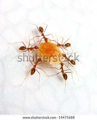 Ants at work moving food a teamwork concept Stock photo ©