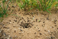 Ants close-up. Ants family. Little black ants are at work. Ants with prey at the entrance to the termite mound. Clay and small stones texture. Mink in the ground. Green grass near termite mound