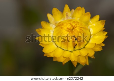 Ants crawling on a yellow straw flower