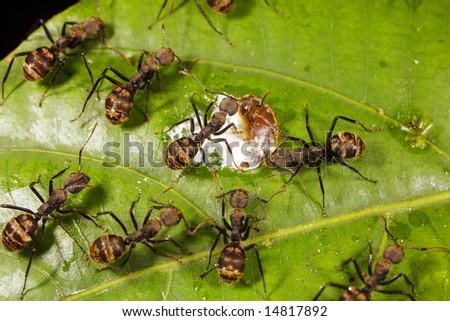 Ants feeding on a bird dropping in the Ecuadorian Amazon
