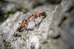 Ants fight, communicate or just kiss on a tree