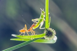 Ants,Grasshopper,insect,nature