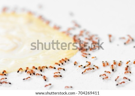 Ants group eating sweet on white background Stock photo ©