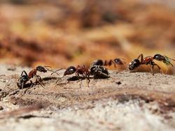 ants in natural habitat (Formica rufa)
