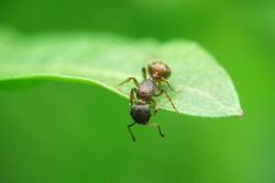 Ants insect concept, one ant holding and cohesion on green leaf by mouth and legs, copy space background, beautiful green nature animal macro, cooperation teamwork of ants insects wildlife on plant.