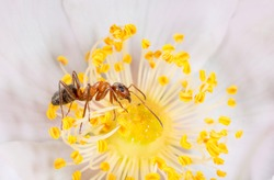 Ants on a flower in a garden drink a rossa looking for food, life gardening, beautiful bright coloring with space for text on a white background