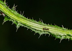ants on their farm protect and raise aphids