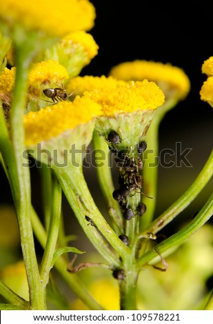 ants tending aphids on yellow umbels, macro