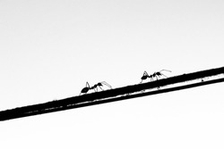 Ants walking on a rope that bound on the tree. Concept of business inspiration from nature (monotone, gray)