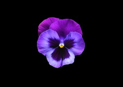 Anuta eyes on a black background . Violet flower .