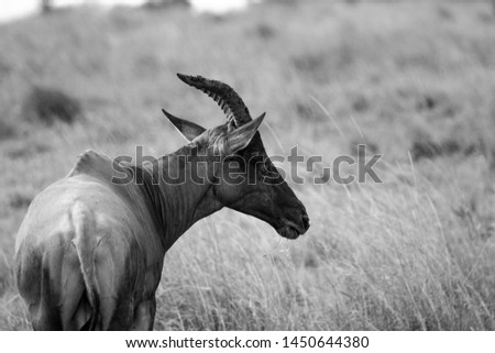 Any of the animals of the antilopino subfamily, such as the gazelle, the impala or the wildebeest, or of some other families or similar subfamilies of ruminant mammals. #1450644380