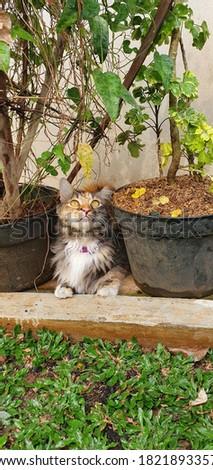 Anya a mixed breed tortie cat Stock fotó ©
