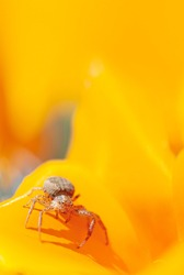 Anyphaena accentuata - buzzing spider crawling inside on yellow petals of californian poppy known as a californian sunlight. Eschscholzia californica