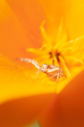 Anyphaena accentuata - buzzing spider crawling inside on yellow petals of Californian poppy known as a Californian sunlight. Eschscholzia californica.