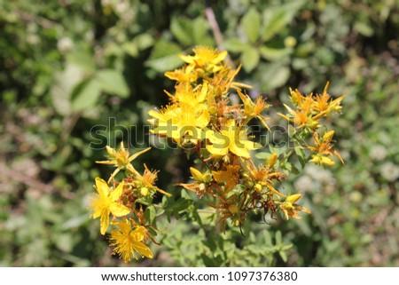 Anzer honey flower, agu flower, avu flower, flowers for famous Anzer Honey Stok fotoğraf ©