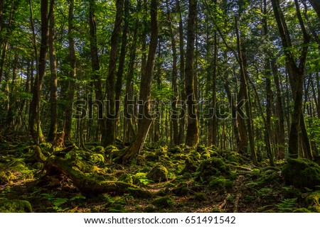 Aokigahara Forest. Mysterious forest in the Japanese Mount Fuji region. Mossy floor and moody light. It is known as suicide forest. Many people disappear here, most of them are comiting suicide. #651491542