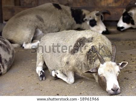 stock photo   aoudad sheep