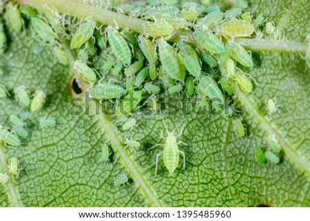 Aphid close up on a green leaf. Crop harvests, insecticidal treatment. Damaged plant leaves, devouring. Copy space Foto d'archivio ©