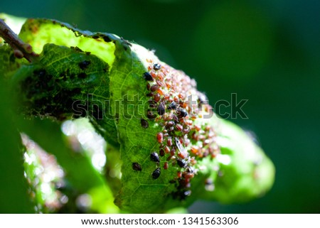 Aphids damage leaves parasite pest. Aphidoidea colony damages trees in the garden by eating leaves. Dangerous pest of cultivated plants eating vegetable juice. #1341563306
