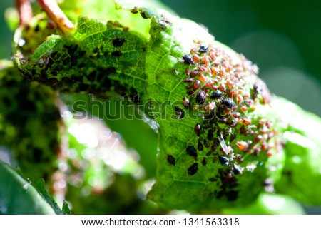 Aphids damage leaves parasite pest. Aphidoidea colony damages trees in the garden by eating leaves. Dangerous pest of cultivated plants eating vegetable juice.