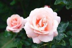 Aphrodite hybrid tea rose in english garden, A beautiful mid pink rose with medium fragrance, Charming pink flowers in salmon pink colour for Summer to Autumn garden