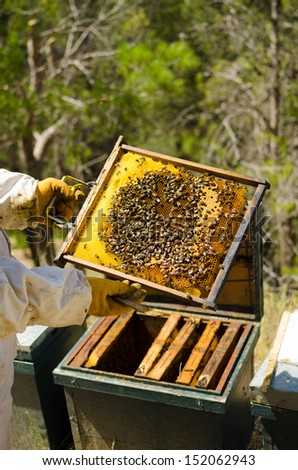 Apiarist at work holding a crowded beehive