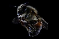 Apis mellifera bee face closeup macro extreme antenna eyes pollinator wings