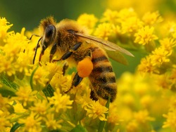 Apis mellifera collects nectar from the yellow colors of Solidago canadensis. There is a lot of nectar on the paws of a honey bee. Macro Photography, selective focus.