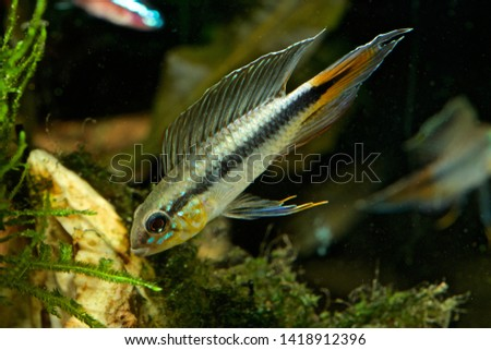 Apistogramma flabellicauda male displaying Inirida  #1418912396