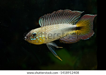 Apistogramma flabellicauda male displaying Inirida  #1418912408